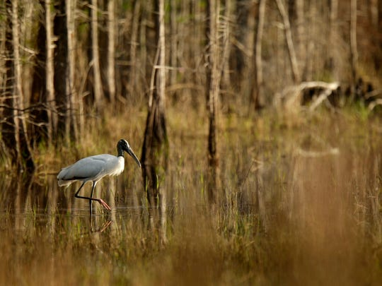 A wood stork walks through water in the pond cypress
