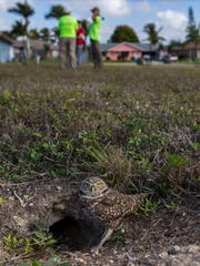 A burrowing owl keeps an eye out for predators near its burrow in Cape Coral Wednesday morning. Some volunteers with the Cape Coral Friends of Wildlife are known as the Burrow Patrol. They help clear out overgrowth and debris from owl burrows in Cape Coral and check out the conditions of known burrows.
