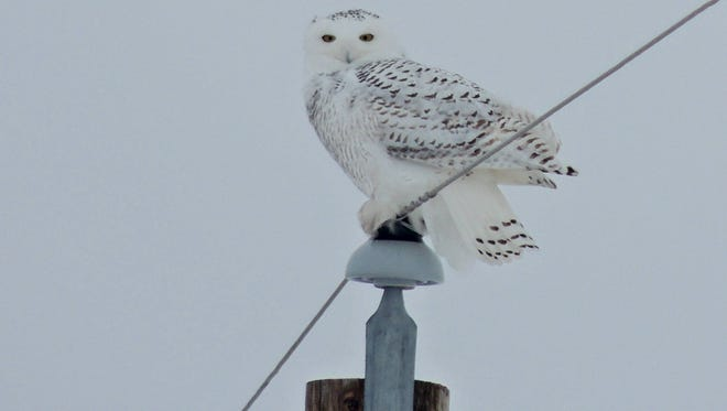 Snowy owls sweep south into the northern states from their Arctic breeding grounds in large numbers when food sources there, such as lemmings and voles, become scarce.