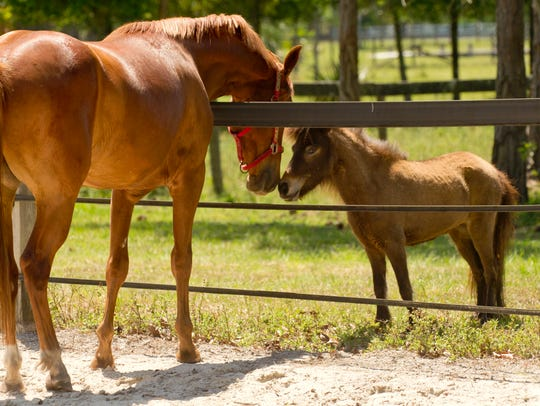 Horse lovers can tour the Equine Rescue and Adoption Foundation in Palm City during its annual country festival.