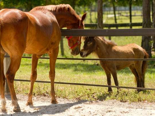 Horse lovers can tour the Equine Rescue and Adoption Foundation in Palm City on Sunday during its annual country festival.