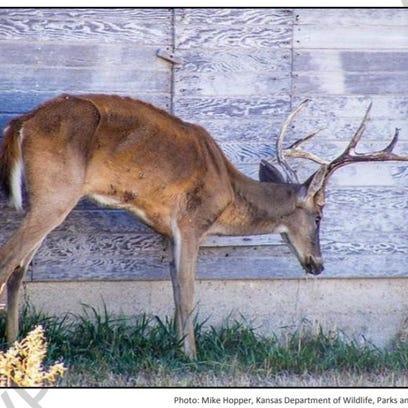 A deer with chronic wasting disease is pictured in