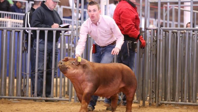 Star Student Calvin Spencer of Colorado High School shows one of his hogs at a recent stock show. Spencer, son of Colorado ISD Superintendent Reggy Spencer, said it's his character that make him a Star Student.