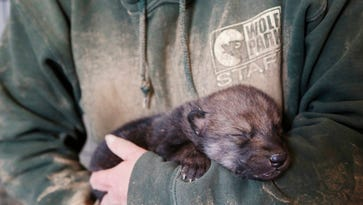 Wolf Park pups pulled from den