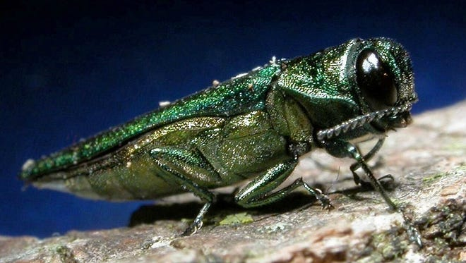Cities across the country are looking for ways to combat the emerald ash borer, which has already killed millions of ash trees.