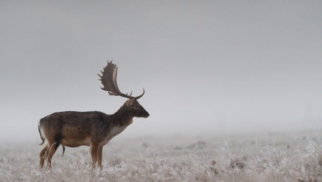 A deer looks out into fog before sunrise at Richmond park in south west London on Nov. 29, 2016.