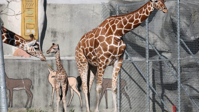 The Detroit Zoo is celebrated the arrival of its own baby reticulated giraffe in August 2016.