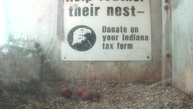Four falcon eggs await the return of their parents to the Downtown Indianapolis nestbox on Sunday.