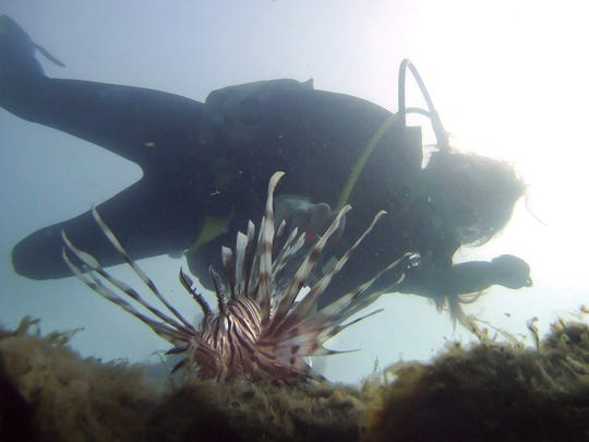 Zaimarie De Guzman hovers above a lionfish while taking photos during a scuba dive at Pepper Park Beach in this file photo. The invasive fish have become a common sight on the reefs along the Treasure Coast.