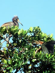 In Rookery Bay, a mature little blue heron and a sub-adult