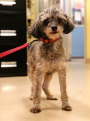 Pooch is a 9-year-old Chihuahua poodle mix  looking