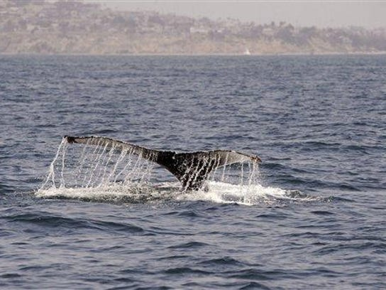 A whale is seen in the Pacific Ocean. Whale Watch Week