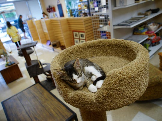 A kitten up for adoption sleeps at the top of a cat