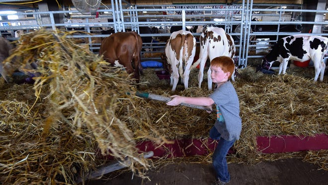 Cooper Kerrick, 7, of Greenwood, cleans up the hay bedding for his cows at the Delaware State Fair in Harrington, Del.