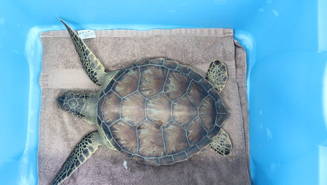 A rescued Green sea turtle.