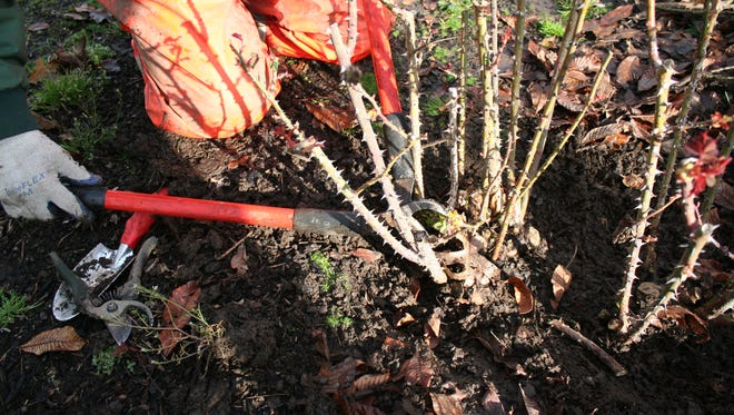 On the west side of the Cascade Range, mid-February is generally time to start thinking about pruning. Most of the pruning is done by cutting the branches at the base of the plant.