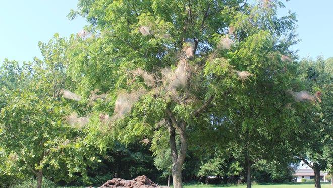 Fall webworms in a walnut tree