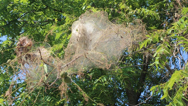 Homeowners who are concerned about fall webworms can break them up with a stick and let the birds do the rest.  Chemical treatments are not recommended.