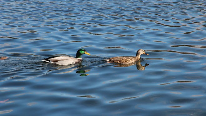 A drake and hen mallard duck swim in a southeastern Wisconsin pond. An annual survey found a 23% increase in breeding ducks statewide, including a 10% increase in mallards.
