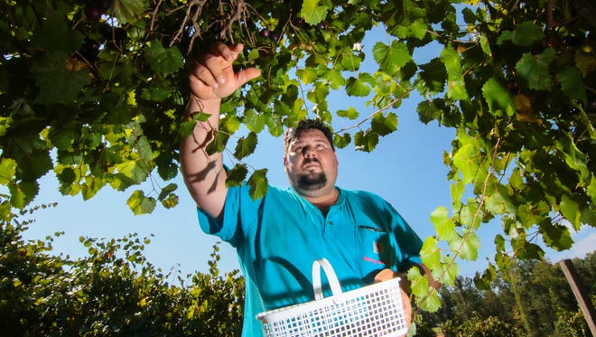 Brett Edelen of Berry Acres Farm in Anderson, picks muscadines at the farm. Many visitors come for the pre-picked and you-pick fruit through the fruit bearing seasons at 230 Strawberry Road in Anderson.