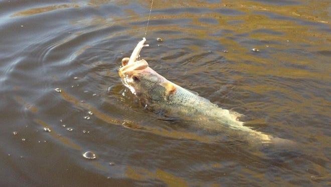 A largemouth bass falls victim  to a lure.