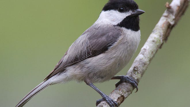 While Carolina chickadees (pictured here) look almost identical to black-capped chickadees, the two are less related than the black-capped and mountain chickadees.
