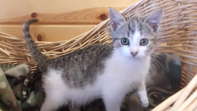 Muffin is a playful little kitten who loves to cuddle