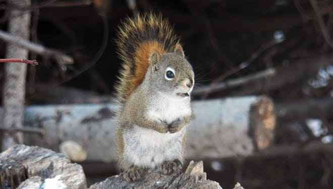 Red squirrels are native to Wisconsin and have one of the widest distributions of any squirrel in North America.