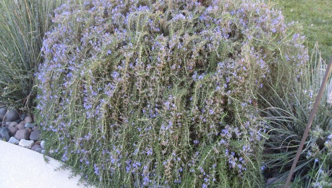 A rosemary bush in need of pruning.