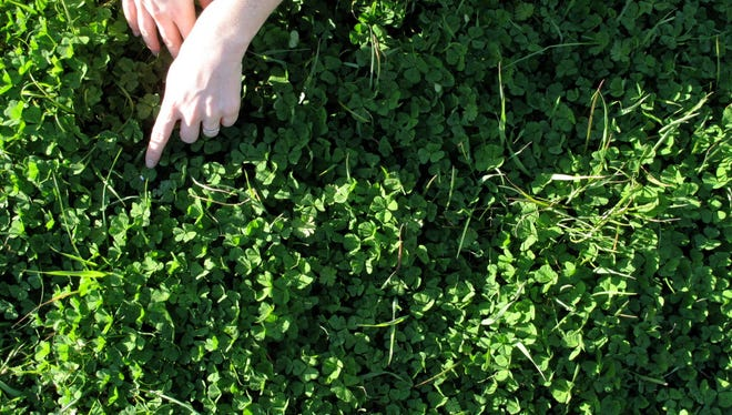 Trying to find a four leaf clover. Tuscany, Italy.