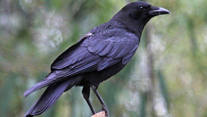 American crows are under investigation for being even smarter than they appear.