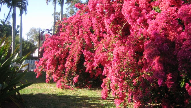 Today, the Bougainvillea is one of the most popular plants in Florida landscapes.