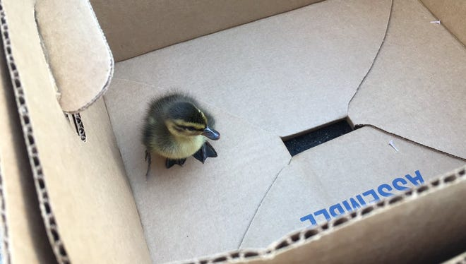 A duckling huddles in a cardboard box on June 1. Poudre Fire Authority rescued the duckling and its siblings from a storm drain and reunited them with their mother.