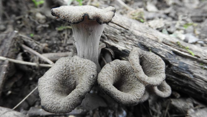 Black trumpets are easily identified edible mushrooms out in full force this fall.