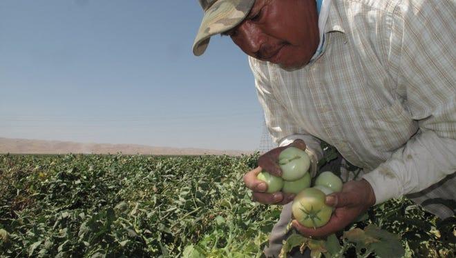 Farmworker Florentino Reyes picks tomatoes near Mendota, Calif.