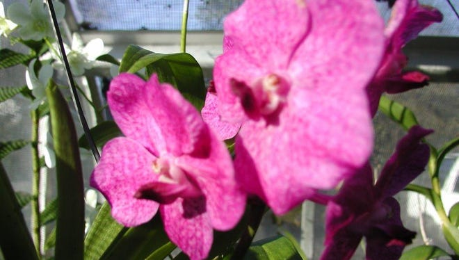 Vanda orchids from Helen Herzog's greenhouse and similar to those you will see at Southwest Region Orchid Show.