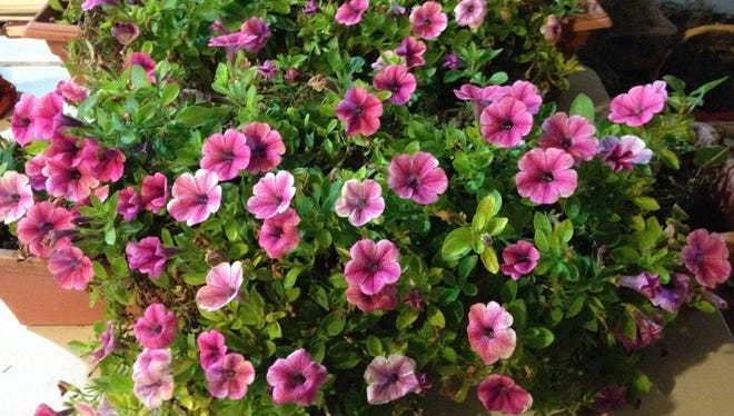 This window box full of petunias from the 2016 growing season now sets in Mary Lee Minor's garage. It was taken down reluctantly.  This is the growing season that just did not want to quit.