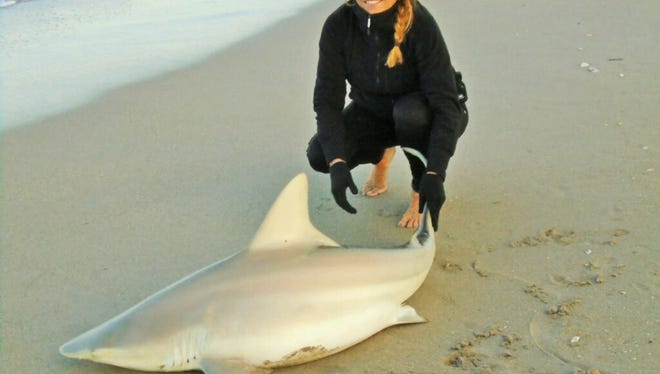 There are a good number of sharks being seen and caught along Treasure Coast beaches this week.
