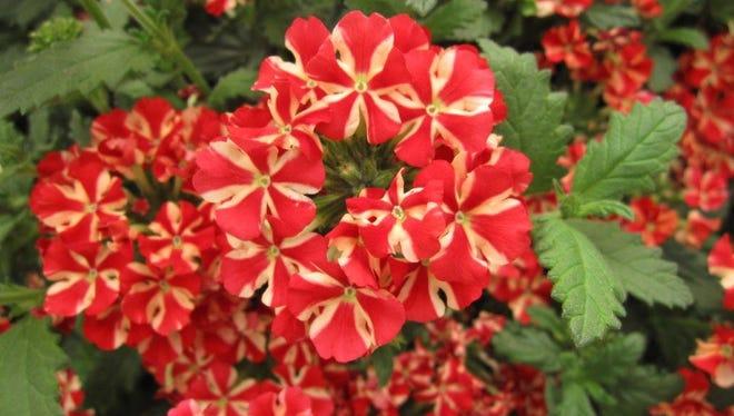 Verbena Estrella Voodoo Star flowers.
