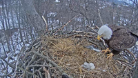 The eagle offspring successfully flew from the nest in June.