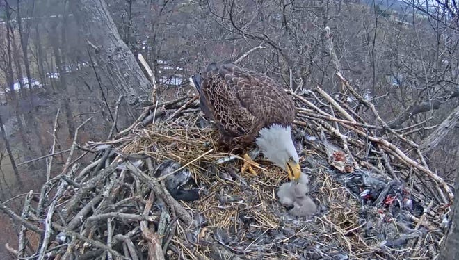 A parent eagle feeds its offspring in the nest near Codorus State Park on March 24, 2017.
