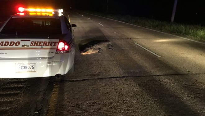 A 10-foot alligator shut down traffic on Hwy. 1 this morning. Its tail had been run over by an 18-wheeler.