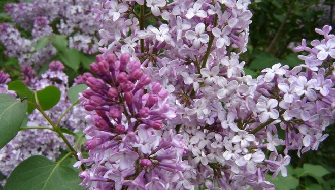 Lilacs at the New Jersey Botanical Garden.