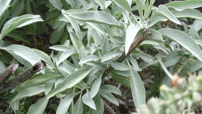 File: White Sage is native to the Southwest these need dry conditions to thrive and can be fairly difficult to become established.