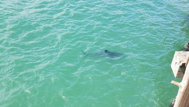 A juvenile shark was spotted swimming off the Ventura Pier Sunday afternoon.