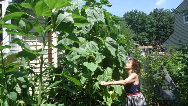 Henrietta Raymond of Old Bridge has a green thumb. This year, her garden has a10-foot, 4-inch sunflower that is still growing. Shealso has a 30-poundpumpkin that's still growing.