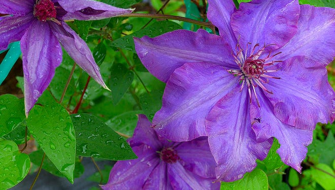 Once you get them going, clematis like 'The President' are show stoppers in the garden.