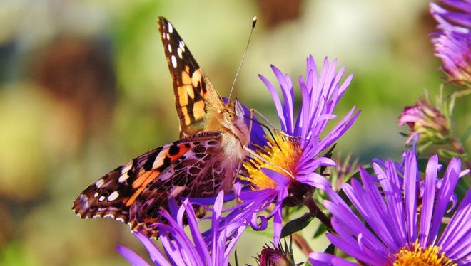 Painted Lady butterflies have been unusually abundant recently, due to a confluence of several factors. Have you noticed them as they take a break from migrating to sip nectar in your flower garden?