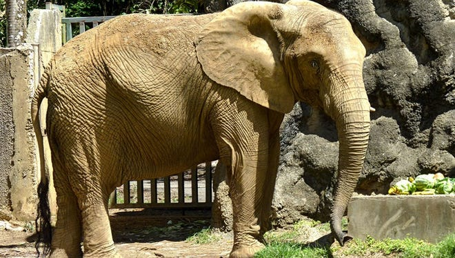 Mundi, a 34-year-old African elephant, may be coming to Attapulgus, Georgia from Puerto Rico where it was housed in a struggling Puerto Rican zoo.