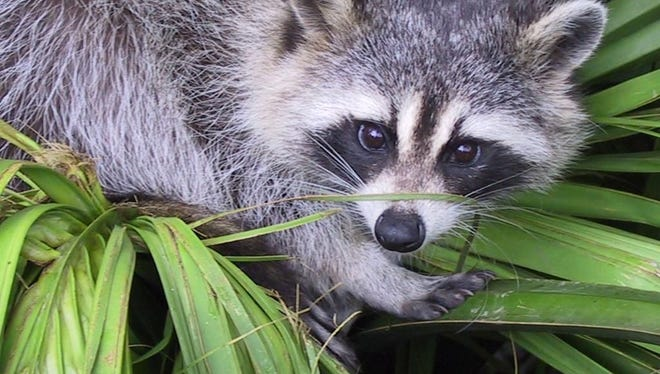 A raccoon rests on plants in dated photo. A girl spotted what she thought was human hands and a head in a stream in Brookfield. It turned out to be a dead raccoon.